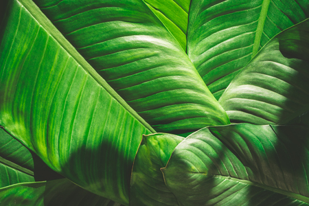 Close up of natural green leaves background, tropical foliage texture. Reklamní fotografie