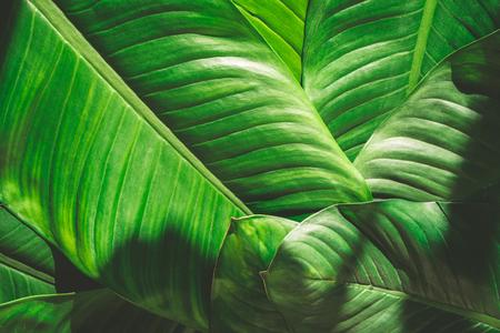 Gros plan de fond de feuilles vertes naturelles, texture de feuillage tropical. Banque d'images