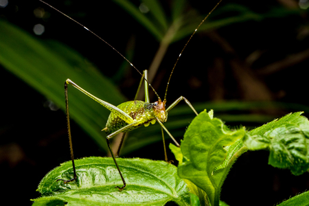 Close up of Grasshopper on green leaves. Archivio Fotografico