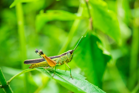 Close up of Grasshopper on green leaves. Soft focus