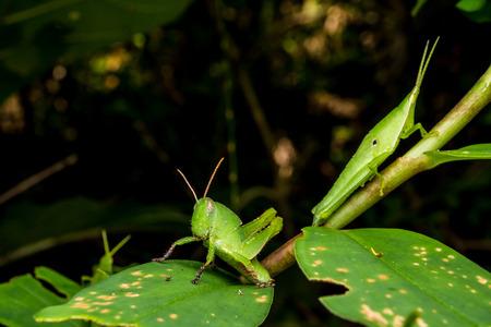 Close up of Grasshopper on green leaves. 版權商用圖片