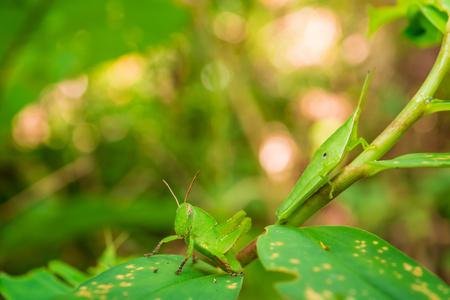 緑の葉にキリギリスを閉じます。ソフトフォーカス 写真素材 - 95214763