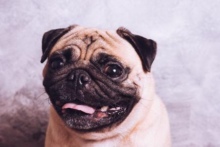 Close up face of cute pug dog. vintage tone