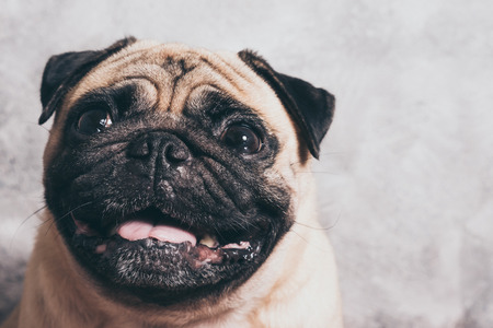 Close up face of cute pug dog Stock Photo