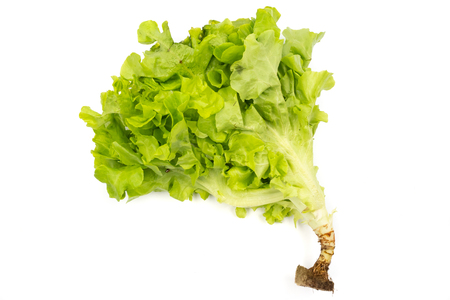 Green oak lettuce on a white background