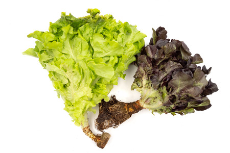Red and green oak lettuce on a white background Standard-Bild - 101099733
