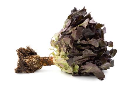 Red oak lettuce on a white background