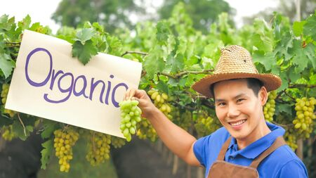 Happy farmer holding a bunch of grapes in organic vineyard. 版權商用圖片