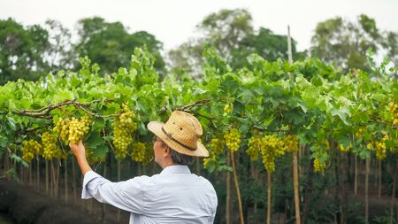 Farmer holding a bunch of grapes in vineyard.