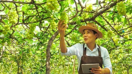 Happy farmer holding a bunch of grapes in vineyard. Stok Fotoğraf
