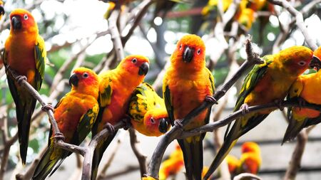Group of Sun conure birds holding branches together in the zoo.