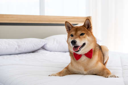 Cute shiba dog lying on a bed at home