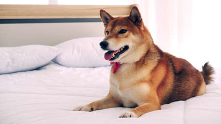 Cute shiba inu dog lying on a bed at home