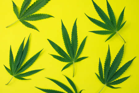 Top view of cannabis leaves on yellow background.