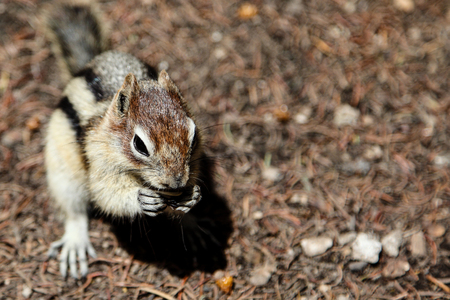 gatherer: Chipmunk Background With Copy Space