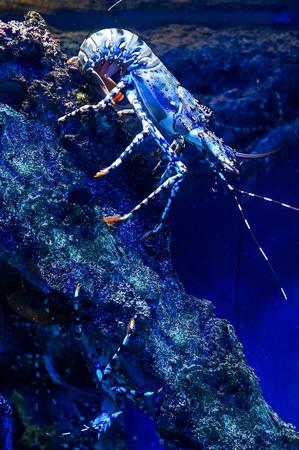 spiny lobster: Spiny Lobster Resting on its Coral Habitat