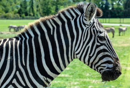 animal body part: Focus on the head of a Grant Zebra Stock Photo