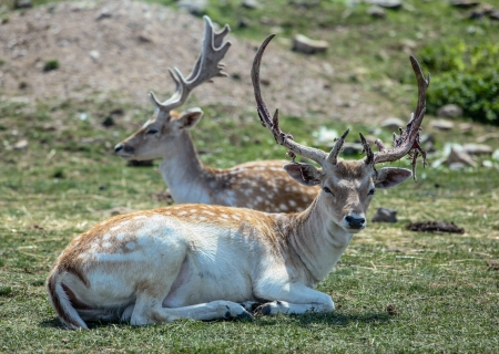 fallow deer: Selective focus on a fallow deer buck with a shedding antler in the foreground  Stock Photo