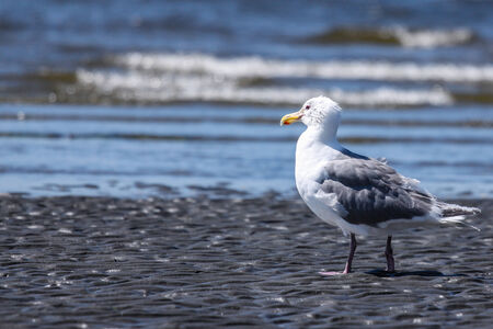 A solitary seagull looking out to the ocean   Defocused background with copy space