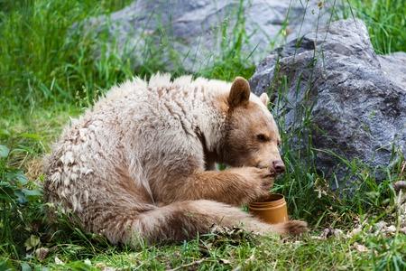 Een hongerige witte Kermode of Geest draagt likt honing uit zijn poot uit een honingpot
