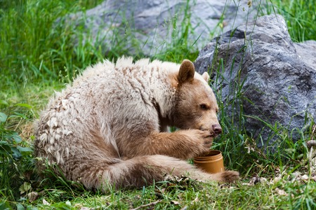 A hungry white Kermode or Spirit Bear licks honey from its paw off a honey jar  Banque d'images