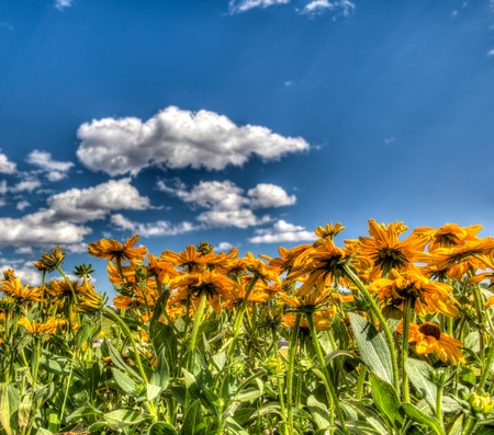 HDR rendering of a field of yellow daisies under a blue sky, with copy space