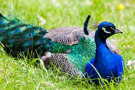 phasianidae: A peacock resting in the wild, with focus on its head and its blue crest