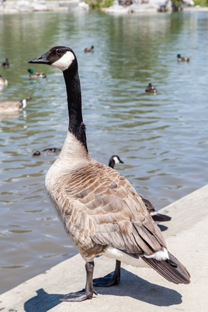 freshwater bird: A Canada goose standing at the edge of a pond.