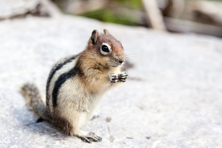 gatherer: A wild chipmunk (Tamias Striatus) stands on its hind legs looking for food. Stock Photo