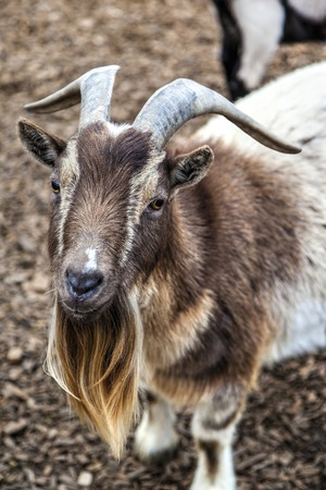 billy: A cute bearded goat staring at camera Stock Photo