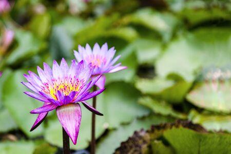 nelumbo: Lotus Flowers Nelumbo Nucifera on a pond with selective focus and copy space.
