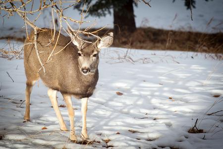 canadian rockies: A Mule Deer looking for food in the winter snow of the Canadian Rockies.