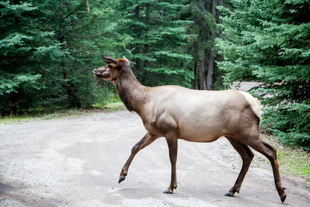 wapiti: A female elk cow in Jasper in the Canadian Rockies of Alberta. Also known as wapiti or Cervus canadensis, it is one of the worlds largest species within the Cervidae deer family. Stock Photo