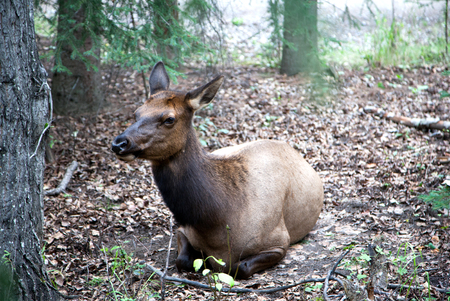 wapiti: A female elk cow resting in the woods of Jasper in the Canadian Rockies of Alberta. Also known as wapiti or Cervus canadensis, it is one of the worlds largest species within the Cervidae deer family. Stock Photo