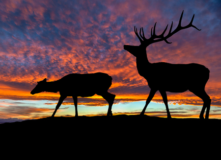 red mountain: Silhouette of a red deer bull elk and a female elk cow on top of a mountain with dramatic sunset in the background. Also known as wapiti or Cervus canadensis, they are one of the worlds largest species within the Cervidae deer family. Copy space.