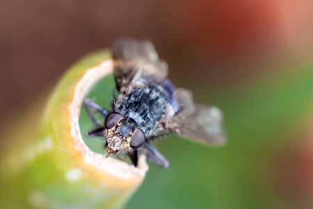 nibbling: Macro head shot of a house fly nibbling on a plant with detailed eyes and facial features.