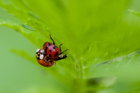 copulate: Macro shot of 2 lady bugs mating with selective focus and deliberate shallow depth of field on background for effect.