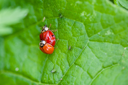 copulate: Macro shot of 2 lady bugs mating surrounded by crawling aphids. Selective focus and deliberate shallow depth of field on background for effect.