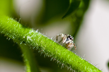 jumping spider: Macro shot of a Jumping Spider resting on a plant stalk in the garden.