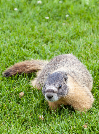 nicknamed: A hoary marmot (Marmota caligata) in the Canadian Rockies, Alberta, Canada. The largest North American ground squirrel, it is nicknamed the whistler. Stock Photo