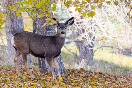 An adorable baby Mule Deer (Fawn) looking for food in the Canadian wilderness during Autumn.