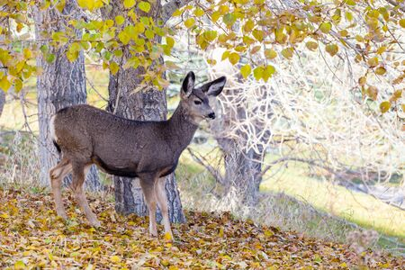 mule deer: An adorable baby Mule Deer (Fawn) looking for food in the Canadian wilderness during Autumn.