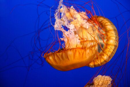 Beautiful Pacific sea nettle or west coast sea nettle jellyfish. They are a common free-floating scyphozoan that live in the East Pacific Ocean from Canada to Mexico.
