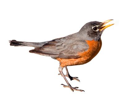 Amerikaanse robin (Turdus migratorius) geïsoleerd op een witte achtergrond. De vogel woont in Noord-Amerika. Het is de staatsvogel van Connecticut, Michigan en Wisconsin.