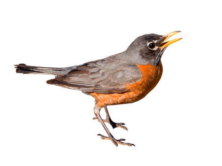 American robin (Turdus migratorius) isolated on white background. The bird lives throughout North America. It is the state bird of Connecticut, Michigan, and Wisconsin.