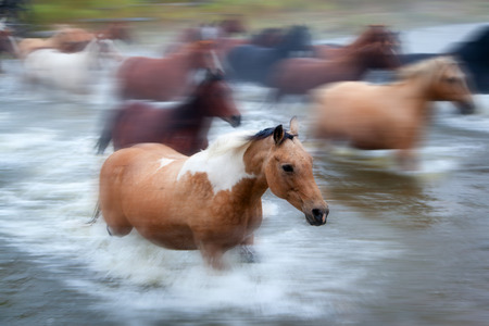 deliberate: Closeup of horses galloping across a river in the cowboy country of Alberta, Canada. Deliberate motion panning with focus on foreground horse.