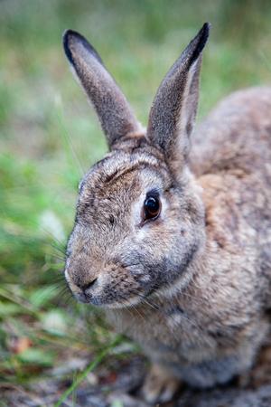 Close up van een Mountain Cottontail konijn of Nuttall's katoenstaartstaartje (Sylvilagus nuttallii) gespot in de Canadese wildernis. Het is een soort zoogdier in de familie Leporida en alleen te vinden in Canada en de Verenigde Staten. Stockfoto
