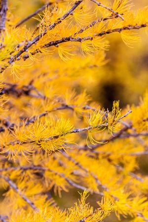 カラマツの木は、カナダのロッキー山脈の秋に黄金色に変わりました。彼らは針葉樹ですが、これらのカラマツの木の松は冬が来ると針を失います 写真素材