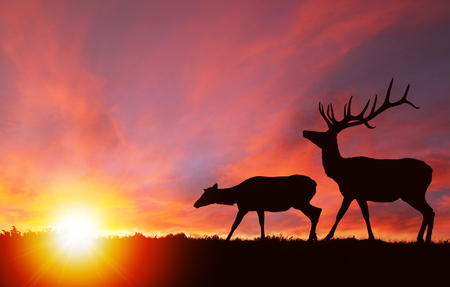 Silhouette of a red deer bull elk and a female elk cow with dramatic sunset in the background. Also known as wapiti or Cervus canadensis, they are one of the world's largest species within the Cervidae deer family. Copy space.
