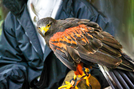 A pet Harris Hawk used in the sport of falconry, which is the hunting of wild animals in its natural state and habitat by means of a trained bird of prey. Also known as the bay-winged hawk or dusky hawk, the bird is part of the buzzard family.